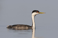 Adult Western Grebe (Aechmophorus occidentalis) in breeding (alternate) plumage. Malheur County, Oregon. September.