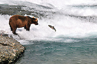 A bear tries to catch a jumping chum salmon at the McNeil River Falls,  in Alaska's McNeil River State Game Sanctuary.