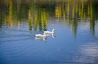 Ducks and reflections in the Kawarau River, Bannockburn, Central Otago, New Zealand - stock photo, canvas, fine art print