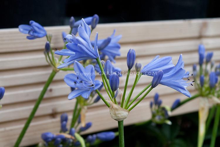 Agapanthus 'Blue Storm' = 'Atiblue' summer flowering bulb