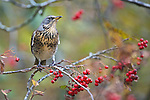 Fieldfare (Turdus pilaris) in a Rowen tree surrounded by berries. In a woodland in north Wales UK