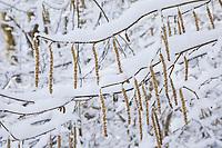 Gewöhnliche Hasel, Haselnuß, Haselnuss, Männliche Blüten, Kätzchen, Blütenkätzchen, Winter, Schnee, Winterlandschaft, Winterstimmung, winterlich, eisig, kalt, Corylus avellana, Cob, Hazel, snow, Coudrier, Noisetier commun