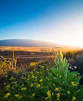 Morning scene at Pu'u Huluhulu Native Tree Sanctuary, Saddle Road, Hawai'i Island.