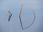 Forged Fish (Cattails at Dead Horse Ranch, Arizona)
