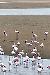 Flamingos gather in the lagoon near Walvis Bay, Namibia, waiting for the Etosha Pan to receive rain. Once the pan has water, they will migrate there to breed.