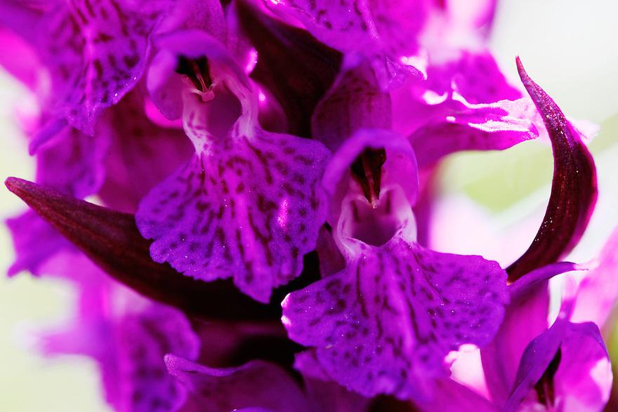 Russia, Caucasus, Orchid (Dactylorhiza sp). Mount Cheget.