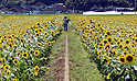 Mashiko sunflower festival