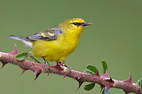 Blue-winged Warbler - Vermivora cyanoptera - Adult female