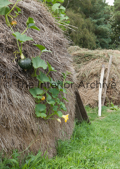 Detail of a pumpkin plant growing over a pile of grass cuttings
