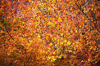 Numerous bare branches amid red, yellow and orange leaves hint at the temporary nature of fall colors.