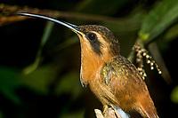 """Nome científico: Phaethornis ruber<br /> Nome-inglês: Reddish Hermit<br /> .<br /> Uma das menores espécies de beija-flor do Brasil. Amplamente distribuída, com registros na Mata Atlântica, Amazônia, Cerrado e Caatinga. <br /> .<br /> Imagem feita em 2008 durante estudo de diagnóstico da flora e da fauna na área de influencia do empreendimento """"Aproveitamento Hidroelétrico Belo Monte"""". Rio Xingu, Estado do Pará, Brasil."""