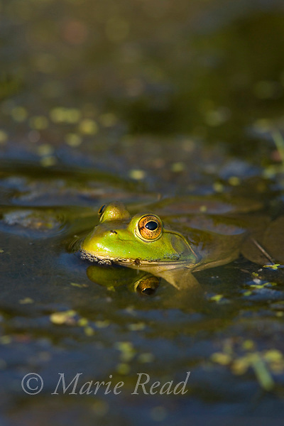 Green Frog adult (Rana clamitans), New York, USA