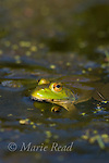 Green Frog adult (Rana clamitans), New York, USA