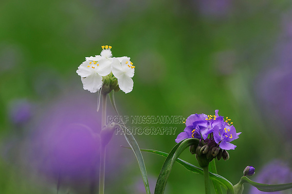 Prairie Spiderwort (Tradescantia occidentalis), White morph blooming, Palmetto State Park, Gonzales County, Texas, USA