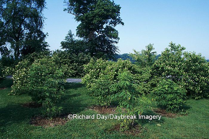 63808-01617 Elderberry (Sambucus canadensis) & Silky Dogwood (Cornus amomum) bushes, Marion Co.   IL