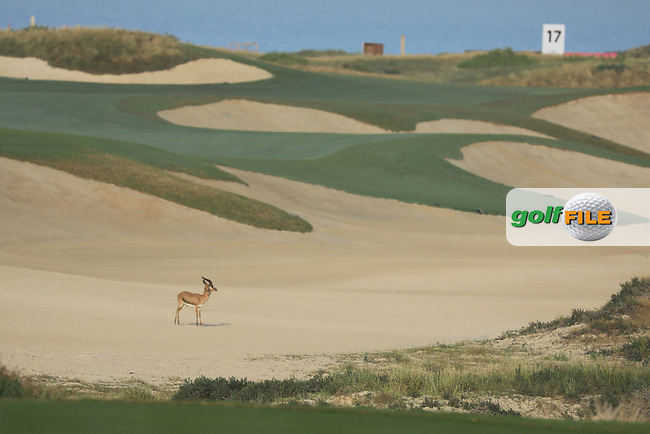 Gazelle in bunker on 16th hole during the first round of the Fatima Bint Mubarak Ladies Open played at Saadiyat Beach Golf Club, Abu Dhabi, UAE. 10/01/2019<br /> Picture: Golffile | Phil Inglis<br /> <br /> All photo usage must carry mandatory copyright credit (&copy; Golffile | Phil Inglis)