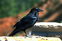 Raven in Yellowstone National Park. Wyoming, Yellowstone National Park.