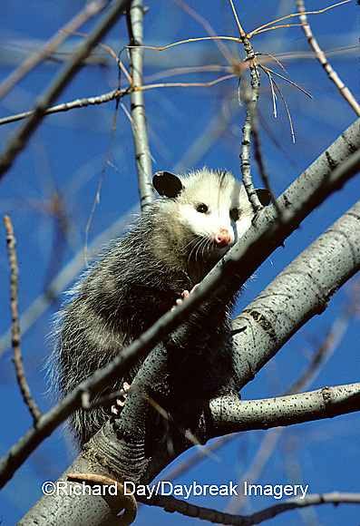 01750-001.20 Virginia Opossum (Didelphis virginiana) juvenal in tree   IL