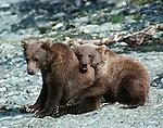 Brown bear(s), Alaska