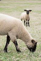 Sheep on South Farm