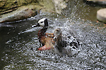 White-faced whistling duck at Santa Barbara Zoo
