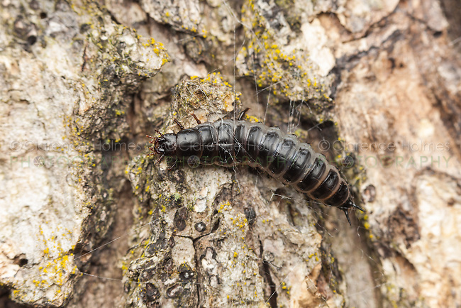 A Caterpillar Hunter (Calosoma sp.) ground beetle larva forages for food on the trunk of an oak tree.