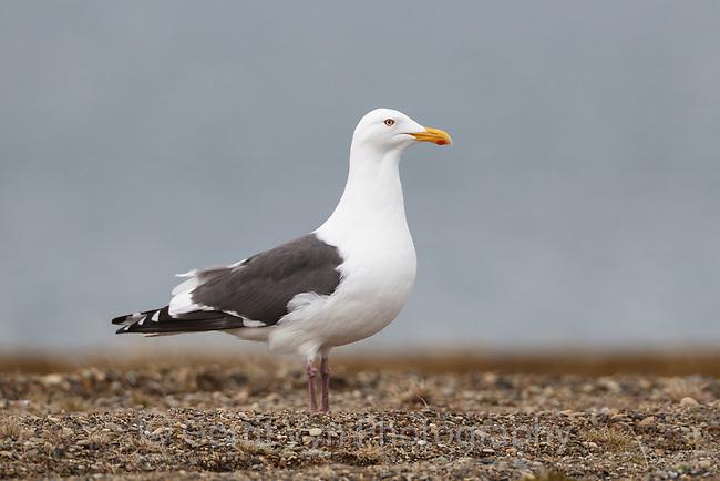 Slaty-backed Gull (Larus schistisagus). Chukotka, Russia. June.