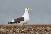 Slaty-backed Gull (Larus schistisagus). Chukotka, Russia. June.