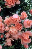 Rosa 'Sunset Boulevard' aka 'Harbabble' pink roses, floribunda David Austin roses