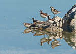 Wilson's Phalaropes (Phalaropus tricolor), group perching on a rock, Mono Lake, California, USA.