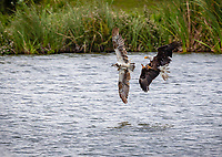 Bald Eagle poised to steal fish from Osprey. Bald Eagle has talons forward. Both birds in flight over water