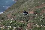 Puffin Skomer Island, Pembrokeshire, Wales