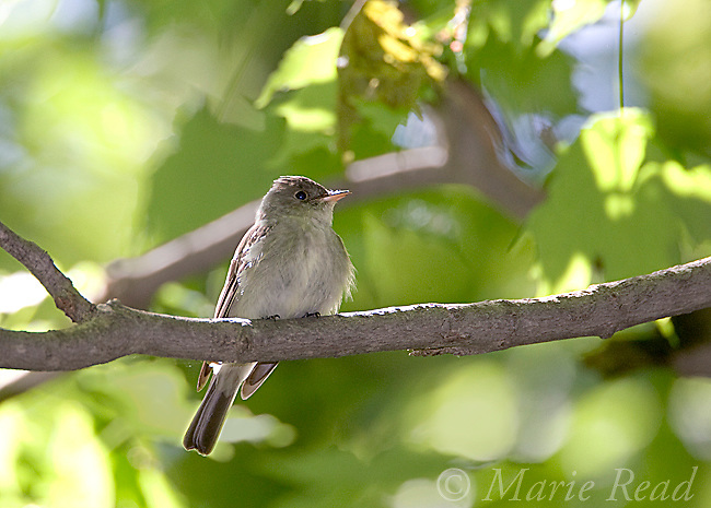 Eastern Wood-Pewee (Contopus virens), New York, USA