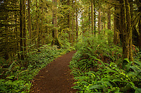 The Rain Forest Nature Trail winds through the Quinault Rain Forest. The termperate rain forest areas on the Olympic Peninsula get upwards of 200 inches of rain per year, making it very lush, moss-covered, and green.