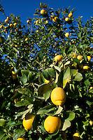 Spain, Costa Blanca, bei El Castell de Guadalest: Lemons on tree | Spanien, Costa Blanca, bei El Castell de Guadalest: Zitronenbaum
