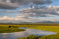 Timmerman Ranch, cattle, Williamson River, Oregon. Evening.