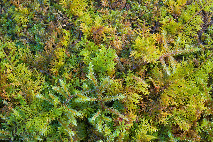 Red-stemmed Feather-moss {Pleurozium schreberi} and Common Tamarisk-moss {Thuidium tamariscinum} growing together in mound. Lake District National Park, Cumbria, UK. February.