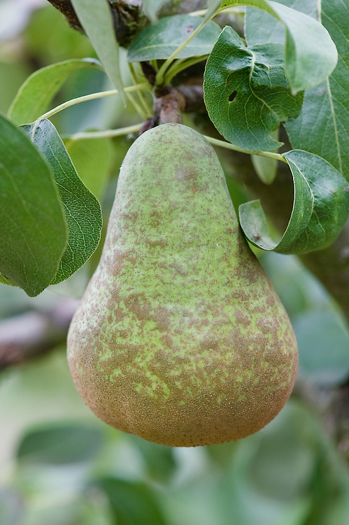 Pear 'Ovid', early September.