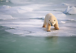 A polar bear cub tests the ice as it walks towards the edge.<br /> Wapusk National Park, Manitoba, Canada