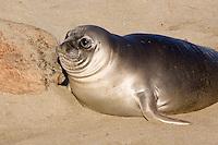 Northern Elephant Seal, pup  (Mirounga angustirostris); Piedras Blancas; San Simeon; California breeding grounds; rookery
