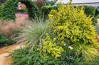 Sunset Gardens at Cornerstone, Sonoma with flowering summer perennials, Ligustrum sinense 'Sunshine' yellow foliage shrub and Lomandra 'Platinum Beauty'