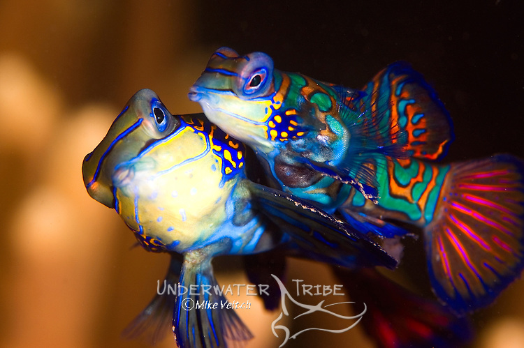 Mating mandarinfish, Synchiropus splendidus, Yap, Federated States of Micronesia, Pacific Ocean