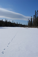 Fox tracks in the snow on popular river near Lutsen, Minnesota