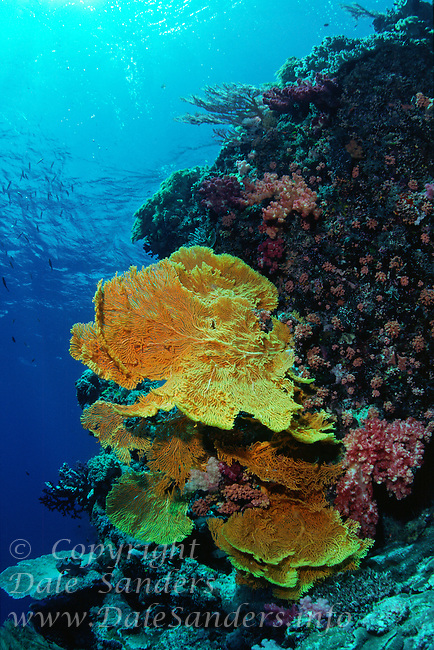 Yellow fans of gorgonian coral decorate a coral reef, Republic of Palau, Micronesia.
