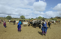 TANZANIA Handeni, Masai nomads with Zebu cows in search for water / TANSANIA Handeni, Masai Nomaden mit Zebu Rinderherde in der Steppe auf der Suche nach Wasser