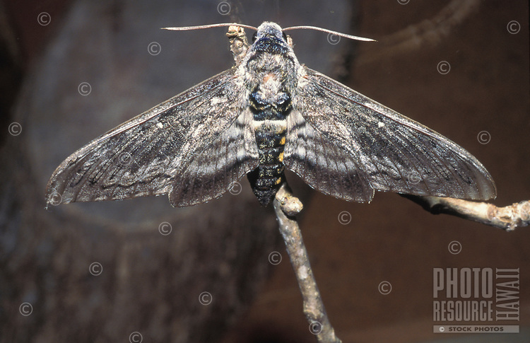 Endangered native Aiea hawk moth (Manduca blackburni), originally found on all islands †