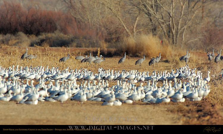 Snow Geese and Sandhill Cranes in the Farm Fields, Bosque del Apache Wildlife Refuge, New Mexico