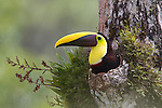 Chestnut-mandibled Toucan (Ramphastos swainsonii) nests in hole of rainforest tree, Costa Rica.