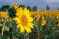 Sonnenblumen bei Castrojeriz, Kastilien-León, Spanien..