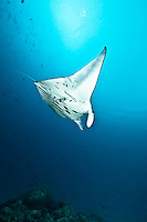 Manta ray flying down to a cleaning station. Manta rays can be uniquely identified by the pattern of spots on their white belly, Palau Micronesia. (Photo by Matt Considine - Images of Asia Collection)